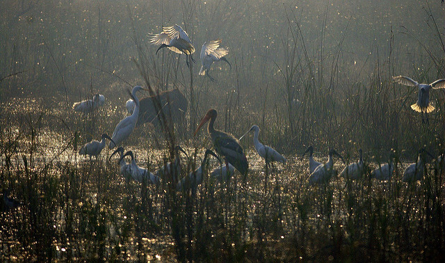 Cranes in Keoladeo National Park