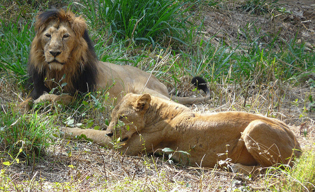 Lion and lioness at Bannerghatta
